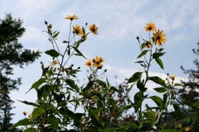 Flowers bloom on tall stalks