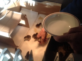 Howie introduces the keets to water and their new home