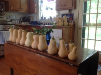 Butternut squash from Howard's 8' x 10' garden