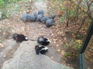 Skunks, guineas, and hens at the kitchen step
